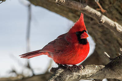 Photograph - Happy Mister Cardinal by Shelly Gunderson