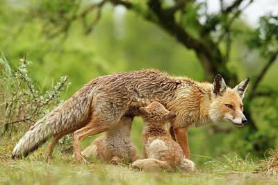 Happy Moments - Mother Fox Suckling Her Fox Kits Art Print