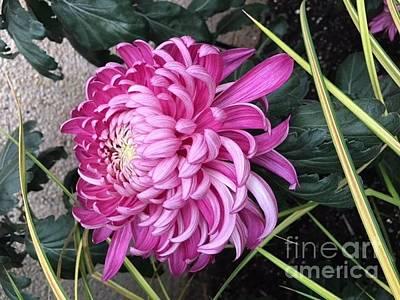 Photograph - Happy Pink Dahlia by Jeannie Rhode