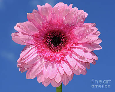 Photograph - Happy Pink Gerbera By Kaye Menner by Kaye Menner