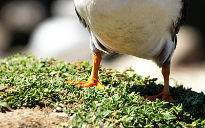 Photograph - Happy Puffin Feet by Framing Places