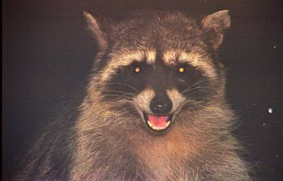 Photograph - Happy Raccoon by Diana Chase