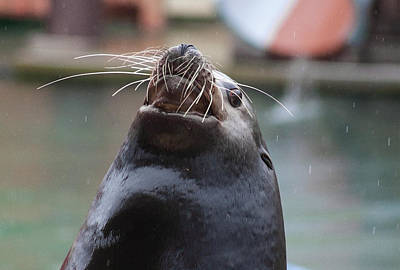 Photograph - Happy Sea Lion by Miroslava Jurcik