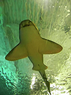Photograph - Happy Shark by Elizabeth Hoskinson