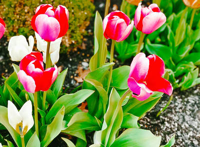 Photograph - Happy Spring Tulips by Femina Photo Art By Maggie