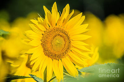 Photograph - Happy Sunflower by Cheryl Baxter