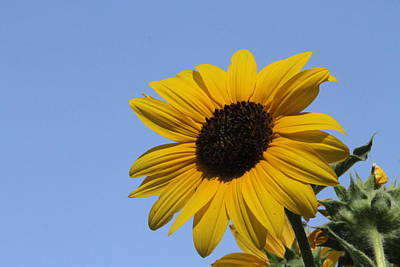 Photograph - Happy Sunflower by Diana Chase
