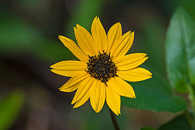 Photograph - Happy Sunflower by Kenneth Albin