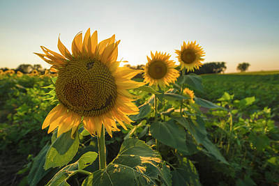 Photograph - Happy Sunflower by Ryan Heffron