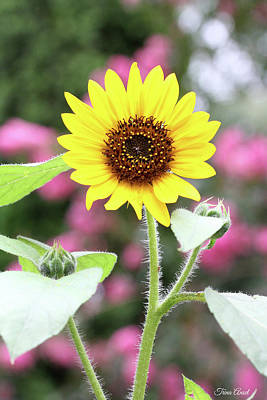 Photograph - Happy Sunflower by Trina Ansel
