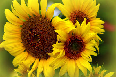 Art Print featuring the photograph Happy Sunflowers by Kay Novy