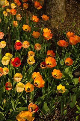 Photograph - Happy Sunny Messy Tulip Tangle by Georgia Mizuleva