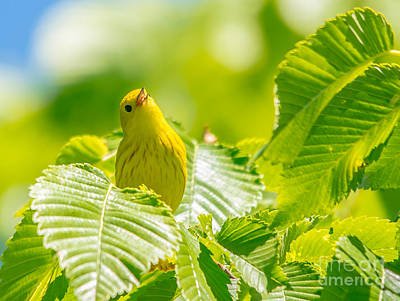 Photograph - Happy Yellow Warbler by Cheryl Baxter