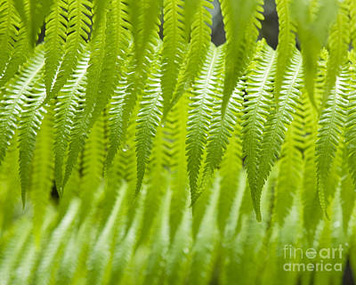 Cibotium Photograph - Hapu'u Fern Detail by Charmian Vistaunet