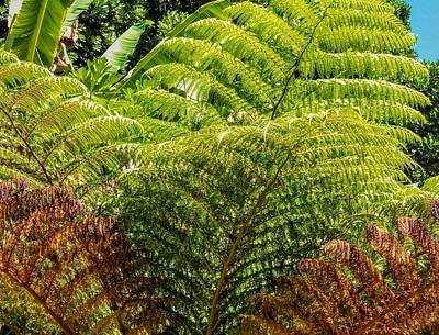 Hapuu Photograph - Hapuu Fronds by Mary McDermid