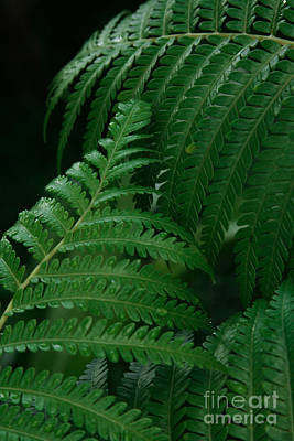 Photograph - Hapuu Hawaiian Tree Fern by Sharon Mau