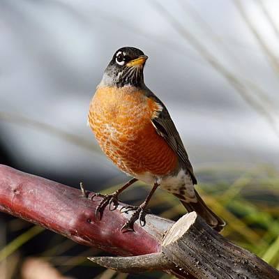 Photograph - Harbinger Of Spring - American Robin by KJ Swan