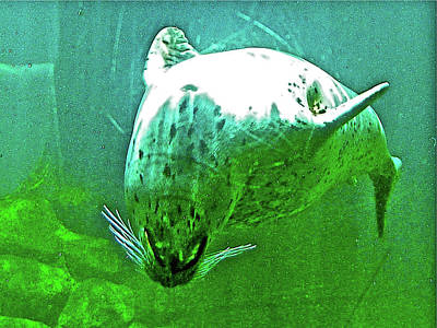 Photograph - Harbor Seal Doing A Backward Sommersault  In Oregon Coast Aquarium In Newport, Oregon  by Ruth Hager