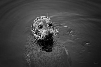 Photograph - Harbor Seal I Bw by David Gordon