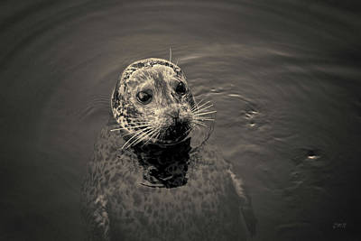 Photograph - Harbor Seal I Toned by David Gordon