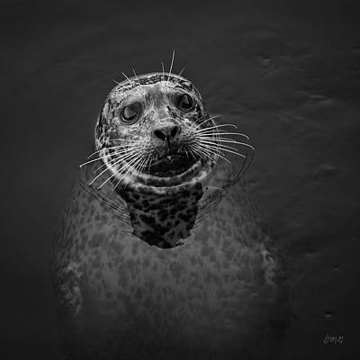Photograph - Harbor Seal IIi Bw Sq by David Gordon