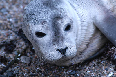 Photograph - Harbor Seal by Mike Martin