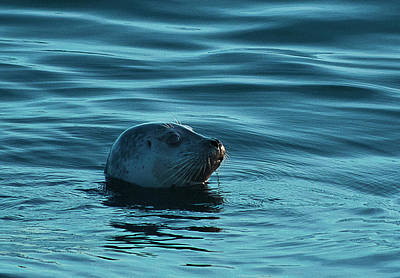 Photograph - Harbor Seal by Morgan Wright