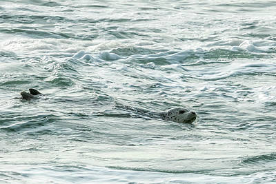 Photograph - Harbor Seal, No. 2 by Belinda Greb