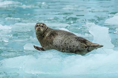 Phoca Vitulina Photograph - Harbor Seal On Ice by Brenda Tharp
