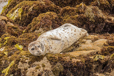 Photograph - Harbor Seal by Phil Stone