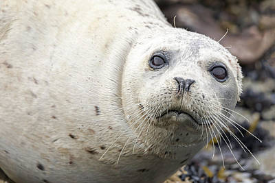 Photograph - Harbor Seal Portrait by Mark Harrington
