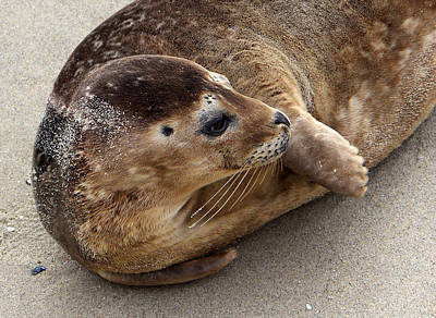 Photograph - Harbor Seal  by Robin Street-Morris