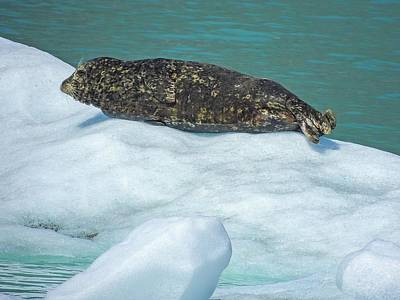Photograph - Harbor Seal  Sunbathing On A Bergy Bit by NaturesPix