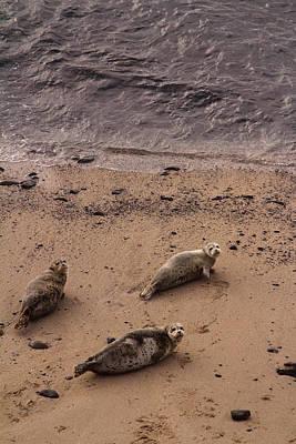 Photograph - Harbor Seal Trio  by Robin Street-Morris