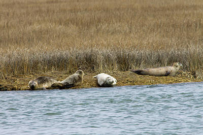 Photograph - Harbor Seals by Deb Kline