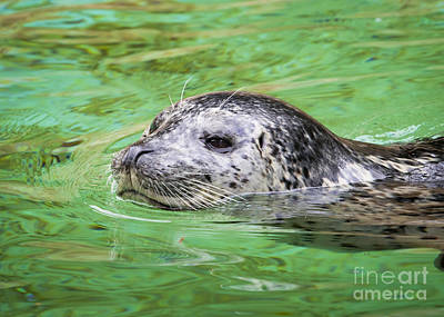 Photograph - Harbour Seal by Chris Dutton
