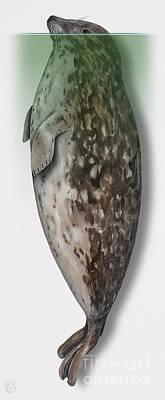 Harbour Seal - Harbor Seal - Phoca Vitulina - Phoque Commun - Foca Comune - Pinniped - Sleeping  Art Print