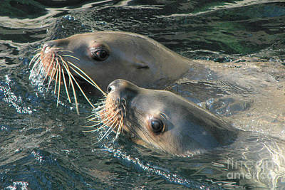Photograph - Harbour Seals by Frank Townsley