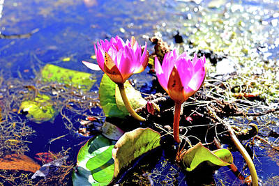 Photograph - Hardy Waterlilies by Marilyn Holkham