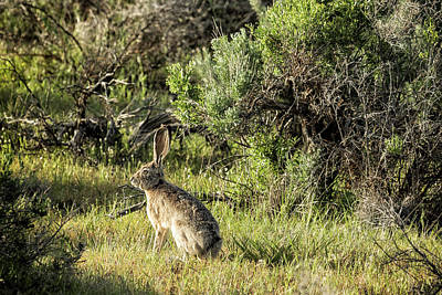 Photograph - Hare In Late Afternoon Light by Belinda Greb