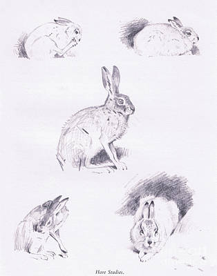 Rabbit Drawing - Hare Studies by Archibald Thorburn