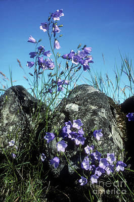 Photograph - Harebells by Phil Banks