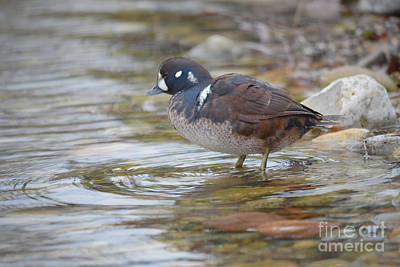 Photograph - Harlequin Duck by Charles Owens