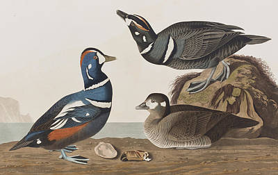 Landscape Art Drawing - Harlequin Duck by John James Audubon