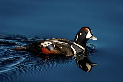 Photograph - Harlequin Duck by Michael McAuliffe
