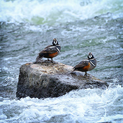 Photograph - Harlequin Ducks by Greg Norrell