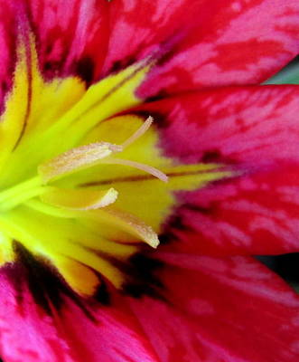 Photograph - Harlequin Flower Macro by Joyce Dickens