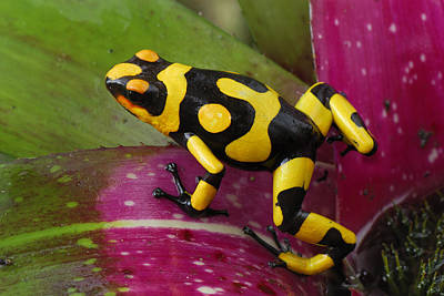 Harlequin Poison Dart Frog  Art Print by Thomas Marent