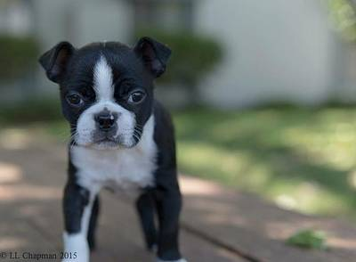Photograph - Harley As A Puppy by Lora Lee Chapman