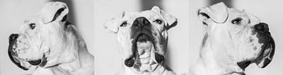 White Boxer Dog Photograph - Harley In Black And White by Matthew Lit